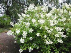 Mustilanhortensia. Syksyyn saakka kukkiva  pensas viihtyy kalkitsemattomassa maassa ja kukkii jopa varjossa. Korkeus: 250 cm.