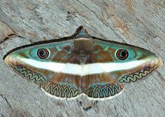 ZIGZAG WHITE-BANDED NOCTUID - Part of the Owl Moth Family.  This beautiful, rare moth is from Australia!