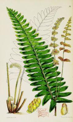 Garden ferns; - Biodiversity Heritage Library