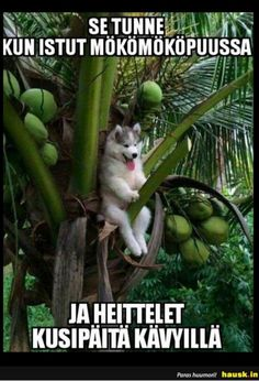 A Husky Pup Who Got Stuck On A Coconut Tree Triggered An Epic Photoshop Battle pics) Husky Humor, Baby Animals, Funny Animals, Cute Animals, Nature Animals, Animals Beautiful, Cute Puppies, Dogs And Puppies, Doggies