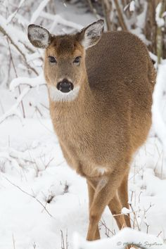 animal photography in the winter | Winter Doe - Wildlife Photography, Fine Art WATERCOLOUR Paper Giclée ...