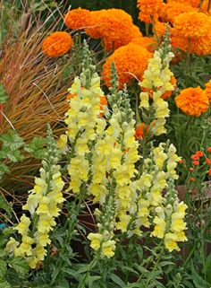 ORANGE AND YELLOW; Antirrhinum 'Canary Bird'snapdragon and marigold