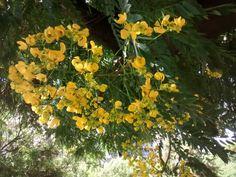 Flor da cassia do nordeste