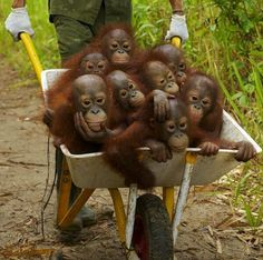 a wheelbarrow of orangutans