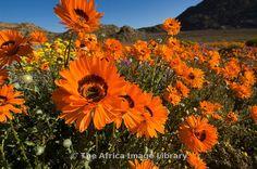 Arctotis fastuosa Namaqualand arctotis daisy Spring flowers in Goegap Nature Reserve Springbok Namaqualand South Africa Orange Flowers, Spring Flowers, Wild Flowers, Wildwood Flower, Spring Has Sprung, Nature Reserve, Beautiful Eyes, Beautiful Landscapes, South Africa