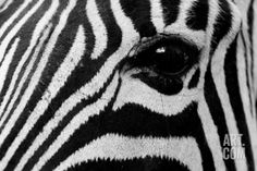 size: Photographic Print: Common Zebra, Kapama Game Reserve, South Africa by Sergio Pitamitz : Artists Game Reserve South Africa, Ways Of Seeing, Cool Posters, Frame Shop, Find Art, Framed Artwork, Close Up, Poster Prints, Tropical Decor