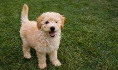 goldendoodle | Goldendoodle puppy