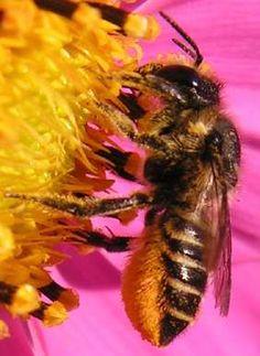 """""""ventre"""" de Megachile centicularis chargée de pollen de Cosmos (les poils de la brosse ventrale sont sur les sternites 2 à 6).."""