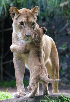 Mamãe leoa e filhote.