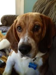 My foster: Gigi is an adoptable Basset Hound Dog in Newaygo, MI. MEET Gigi - this loveable and adorable gal is 3 years old and a Basset/Beagle mix. She had an eye condition called 'cherry eye' and Lake Haven got...