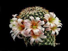 Mammillaria angelensis