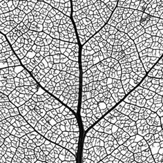 Leaf Skeleton Network - close-up of a cottonwood tree leaf skeleton - showing its vascular network Stock Photo - 3010599
