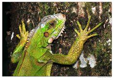 Suriname. Posing Iguana in the rainforest in the Suriname Amazon rainforest