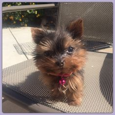"""Angie is on her way to being the smallest dog in the world, she is 4 months old and only 1"""" tall. NOT for sale"""