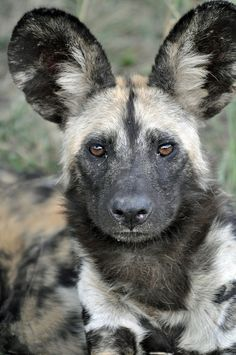 Known as African wild, painted, or Cape hunting dogs, these endangered canines closely resemble wolves in their pack-oriented social | http://celebritiesphotograph.blogspot.com