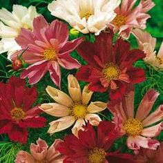 Cosmos bipinnatus - Seashells Mix (50 seeds) Beautiful flowers with fluted tubular petals in shades of crimson, pink and white are borne above feathery foliage. Excellent in borders and as a cutflower. Halfhardy annual that prefers well drained soil and full sun. Grows to a height of 36in. (90cm) and a spread of 25in. (63cm). Halfhardy annual