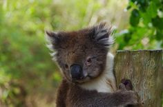 Looking back on some old photos today. Loved meeting this guy in the wild when we were traveling the Great Ocean Road in Victoria last year. It was my first ever sighting of a Koala that was not in a wildlife park I was totally excited and was able to grab a number of shots while he sat next to the road and watched me. This was my favourite one. You just want to cuddle him...until you look closely at those claws! #koala #greatoceanroad #victoria #great_captures_australia by fimorley5