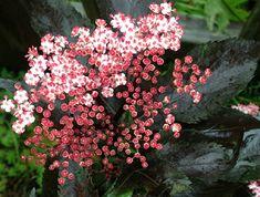 Klehm's Song Sparrow Farm and Nursery--Woody Plants--Sambucus nigra 'Black Tower' ('Eiffel01')