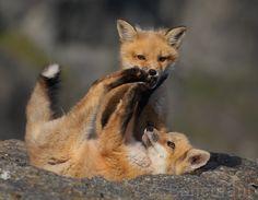 Red Fox Cubs by Pierre Bonenfant
