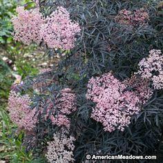 Pink Elderberry Black Lace, Sambucus nigra, Elderberry