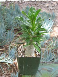 Pachypodium Compacta Succulent Plant by CactusLimon on Etsy