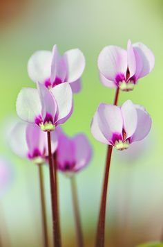 Easy To Grow Houseplants Clean the Air Foto Macro Cyclamen Por Rory Mcdonald Perennial Flowering Plants, Perennials, All Plants, House Plants, Exotic Flowers, Beautiful Flowers, Foto Macro, Easy To Grow Houseplants, Virtual Flowers