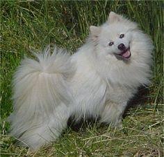 eskimo dog | American Eskimo Dog and Puppies Pictures