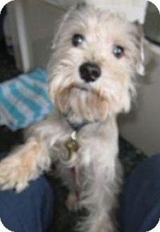 East Brunswick, NJ - Schnauzer (Miniature). Meet Rocky, a dog for adoption. http://www.adoptapet.com/pet/12498543-east-brunswick-new-jersey-schnauzer-miniature