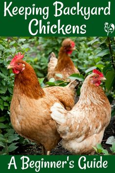 How to raise chickens: a complete guide for beginners. Covering everything from deciding whether chickens are right for your family, to bringing them home and keeping them happy and healthy. Raising Backyard Chickens, Backyard Chicken Coops, Keeping Chickens, How To Keep Chickens, Urban Chicken Coop, Urban Chickens, Pet Chickens, Treats For Chickens, Silkie Chickens