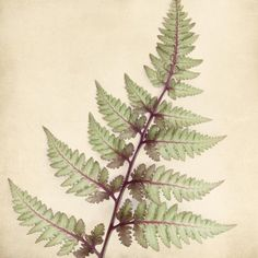 Japanese Painted Fern Art Print - fine art botanical print by Allison Trentelman | rockytopstudio.com