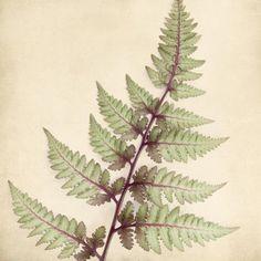 Japanese Painted Fern Art Print - fine art botanical print by Allison Trentelman | rockytopstudio.com