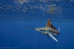 sailfish2.jpg (1800×1196)