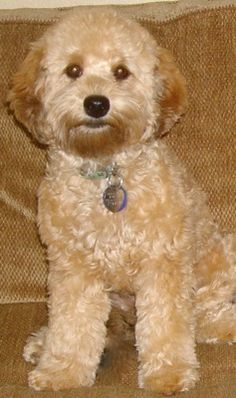 Cockapoo Teddy Bear Cut Google Search Puppies