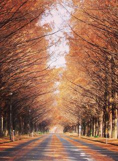 Row of Metasequoia at Makino Highland, Takashimas, Shiga, Japan, メタセコイア並木, マキノ高原, 高島市, 日本