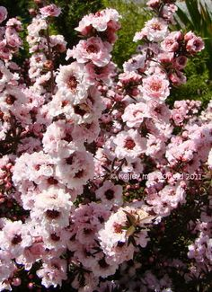 New Zealand Tea Tree, New Zealand Tea Bush, Manuka 'Apple Blossom' (Leptospermum scoparium)