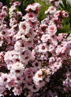 New Zealand Tea Tree, New Zealand Tea Bush, Manuka 'Apple Blossom' (Leptospermum scoparium)