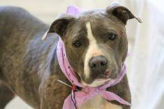 NAME: Blade  ANIMAL ID: 27700430  BREED: Pit  SEX: female  EST. AGE: 2 yr  Est Weight: 52 lbs  Health: heartworm neg  Temperament: dog friendly, people friendly.  ADDITIONAL INFO: RESCUE PULL FEE: $49  Intake date: 4/29  Available: Now