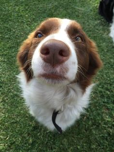 Tanner. 2 year old chocolate brown border collie.