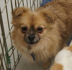 Meet Louie, a Petfinder adoptable Tibetan Spaniel Dog | Auburn, WA | Louie is a 4 year old male Tibetan Spaniel, about 8 pounds.Louie is a shy guy who came in pretty...