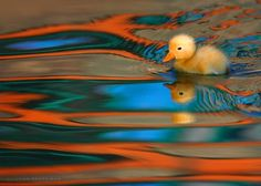 The Ugly Duckling Photo by George Veltchev -- National Geographic Your Shot