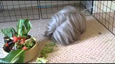 Peruvian Guinea Pig - YouTube