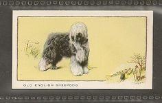 1934 ENGLISH SHEEPDOG Bobtail