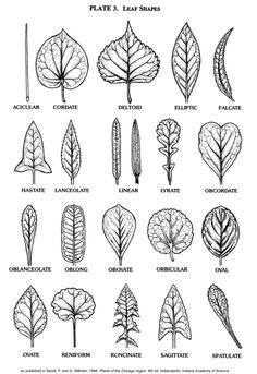 leaf shapes with proper nomenclature