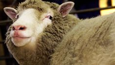 Den Glade Sau: Folkeopplysning om Norsk ull