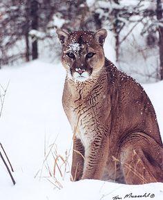 The mountain lion has over forty different names in english, including; cougar,  Mexican lion,  mountain lion,  deer tiger,  mountain screamer,  puma,  painter,  catamount, Panther,  Silver lion,  Devil cat,  Indian devil,  Sneak cat,  king cat,  mountain devil,  red tiger,  Deercat,  Fire cat,  Plain lion , Grey lion,  Caracajou,  Klandagi,  Catawampus,  Quinquajou,  Long Tail, and  Swamp lion.