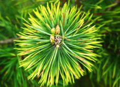 A recent study reveals that pine needle extract can do wonders for stimulating hair growth. See THIS pine needle oil recipe for reversing hair loss. Losing Hair Women, Hair Loss Women, Long Asymmetrical Pixie, Bad Wigs, Longer Pixie Haircut, Hair Loss Medication, Bob Hairstyles For Fine Hair, Hair Thickening, Hair Starting