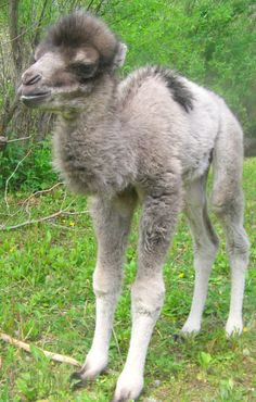Miley the Baby Bactrian Camel  Originally ignored by her mother, the Mesker Park Zoo's newest Bactrian camel calf was cared for by keepers for her first week. However, mother camel, Renee, finally came around and is now hopelessly devoted to her little girl, following little Miley everywhere around the exhibit.