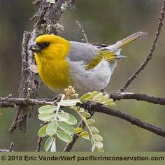 Thr rare Palila, one of Hawaii's endangered birds  by Eric VanderWerf