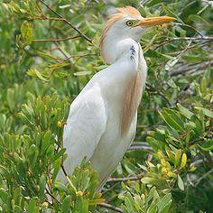 Cattle Egret, Kruger National Park