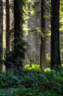 Mixed forest of Redwoods and other conifers in Sequoia Park, a city park in Eureka, California.